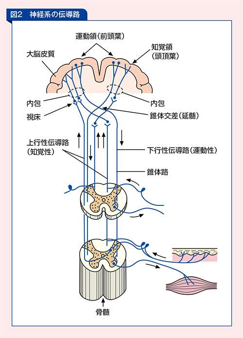 脳血管系の解剖生理をおさらい   看護に役立つ【ナースプレスby ...