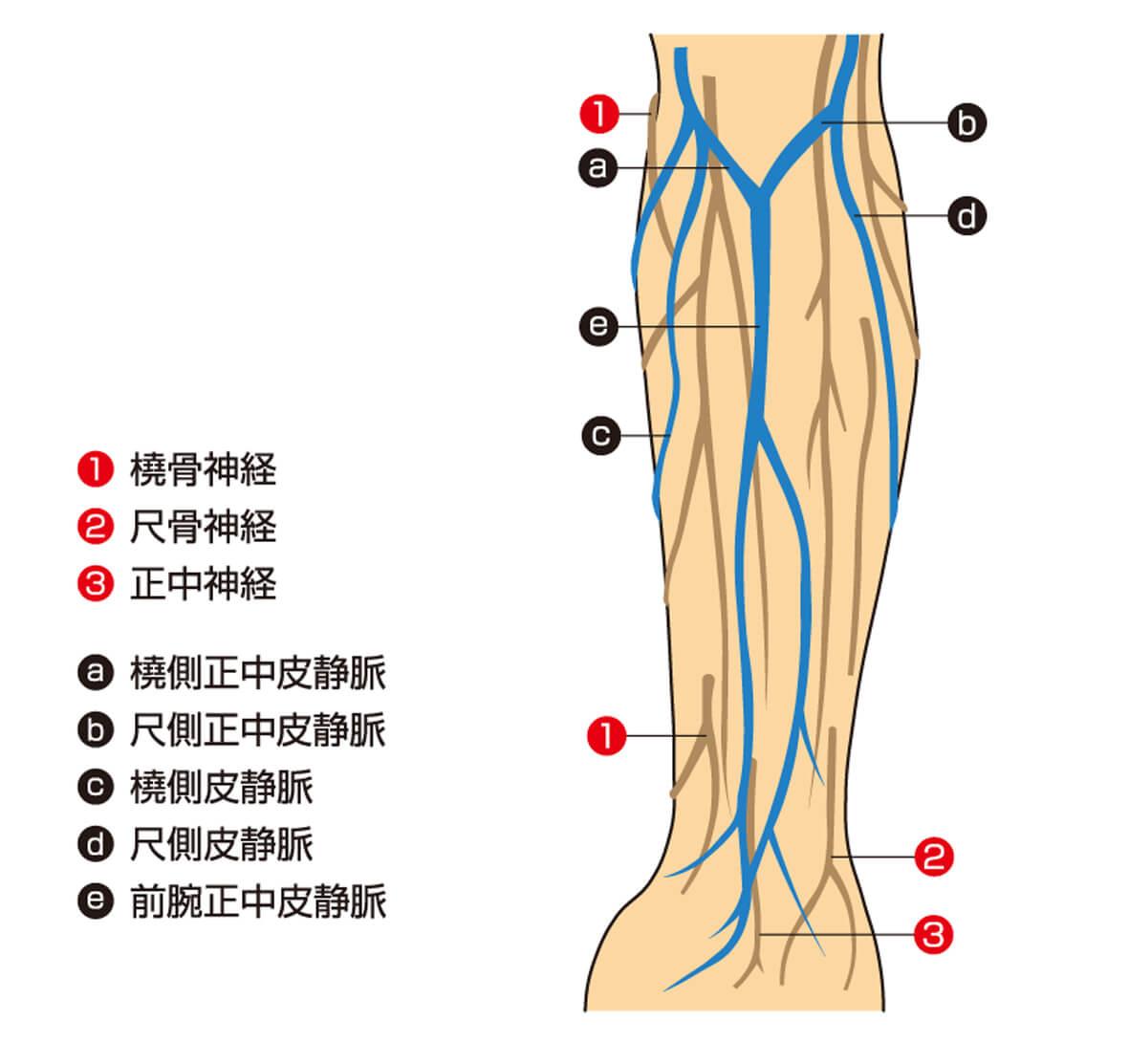 穿刺に適した血管説明図