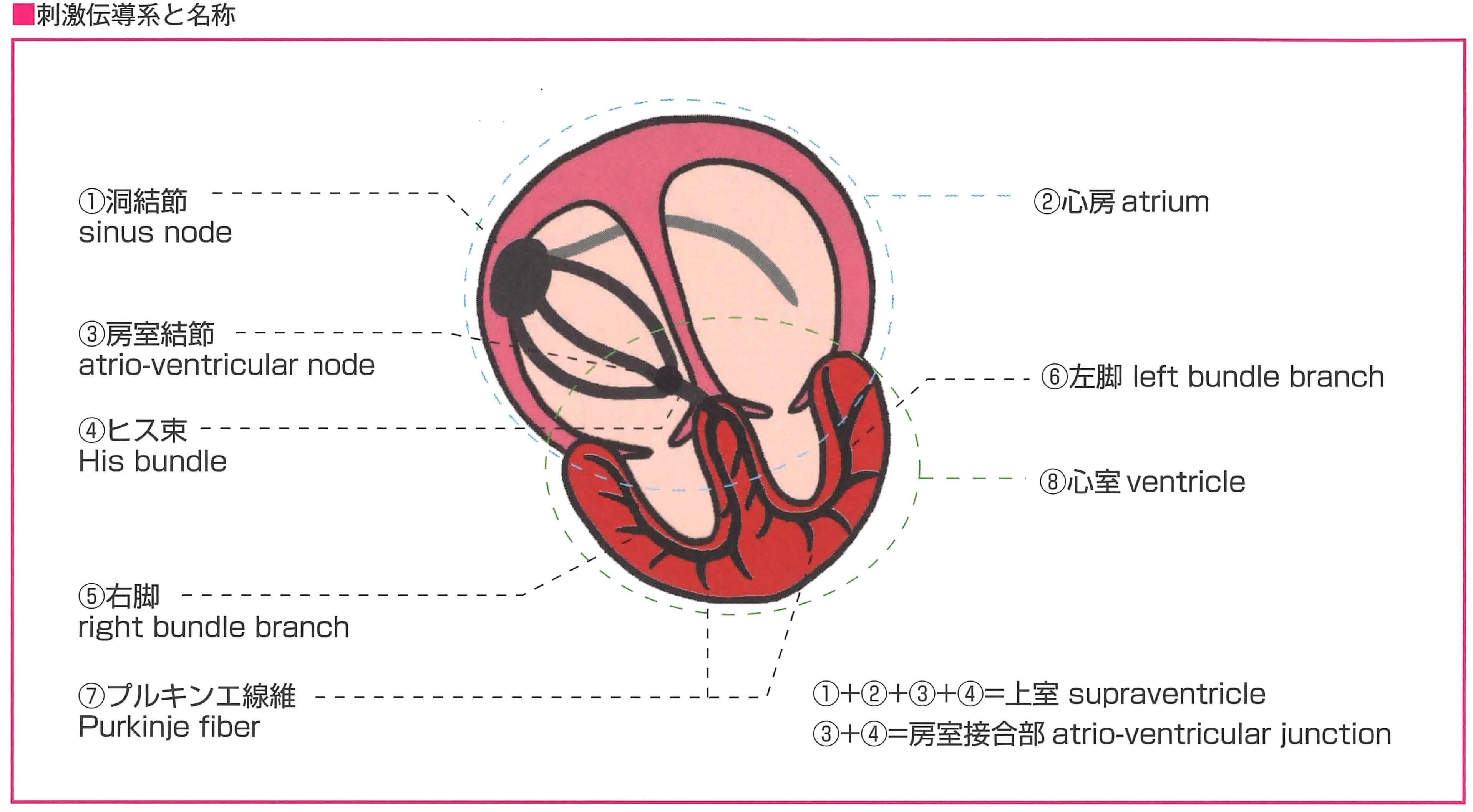 刺激伝導系の模式図