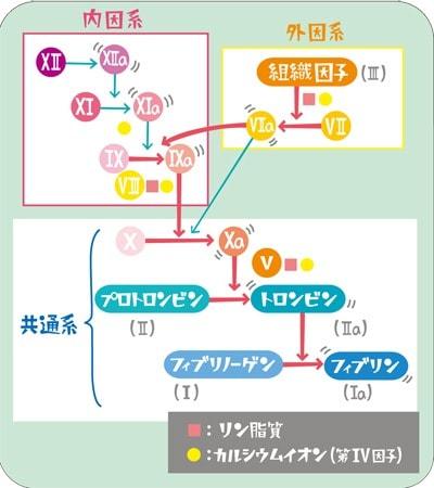 血液凝固カスケード説明図