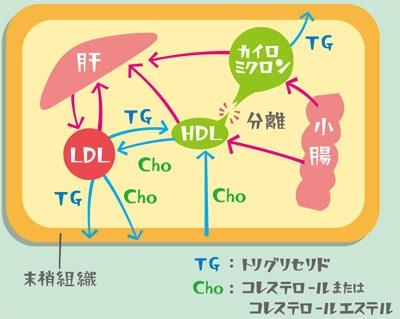 各種リポタンパクの主要な動態