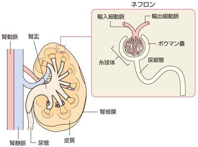 腎臓の構造とネフロン詳細図