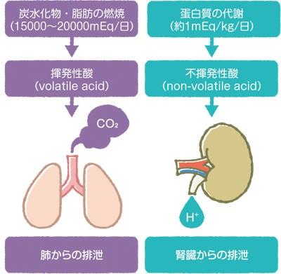 酸の産生と排出説明図