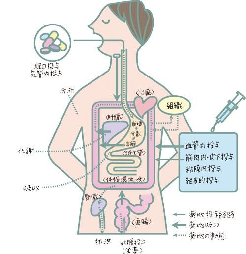 体内をめぐり対外へ排出されるまでの過程のイラスト