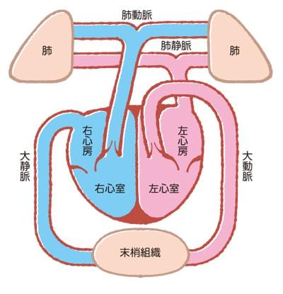 動脈血と静脈血の違い説明図