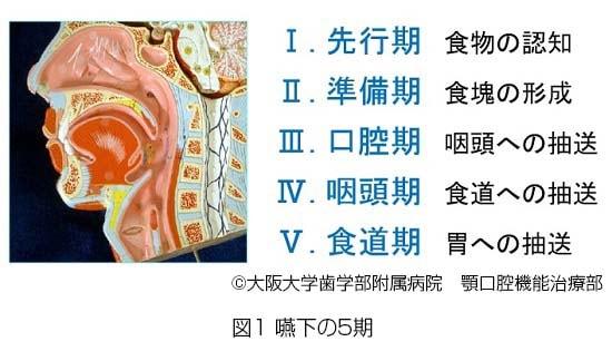 嚥下の5期説明図