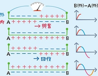 興奮の伝導にともなう細胞外同士の電位差の変化説明図