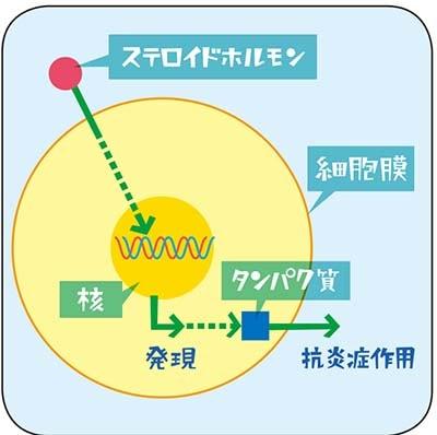ステロイドのメカニズムについての説明図