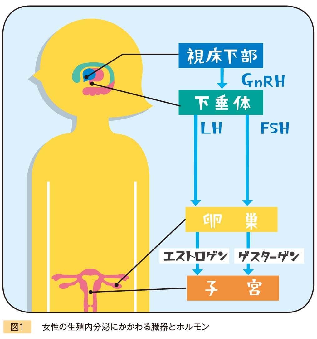 女性の生殖内分泌にかかわる臓器とホルモン説明図