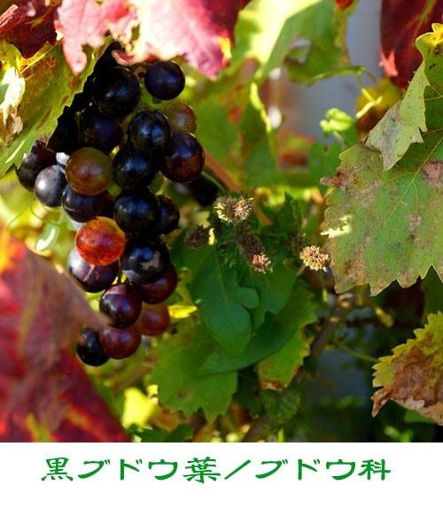 黒ブドウ葉の写真