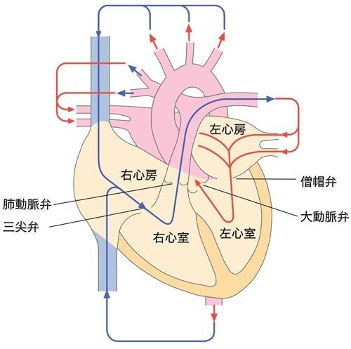 心臓の弁の位置