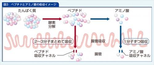 ペプチドとアミノ酸の吸収イメージ