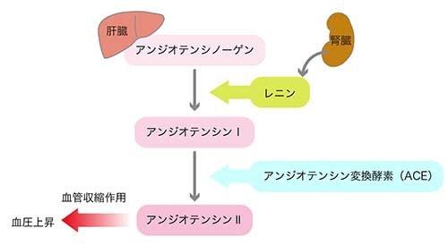 レニン-アンジオテンシン系の機序の図