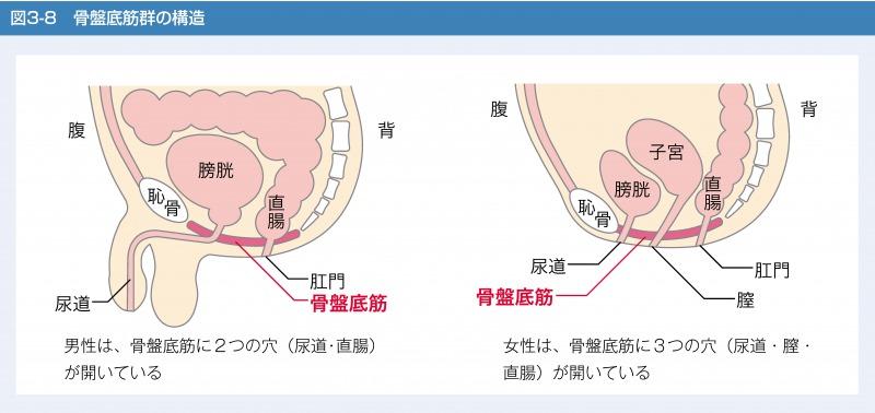 骨盤底筋群の構造