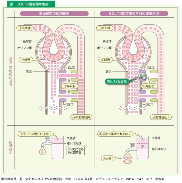 SGLT2阻害薬の働き