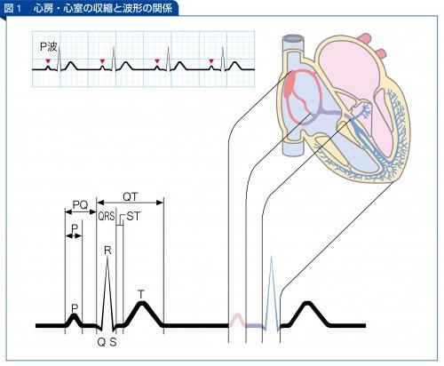 心房・心室の収縮と波形の関係