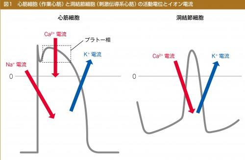 心筋細胞(作業心筋)と洞結節細胞(刺激伝導系心筋)の活動電位とイオン電流