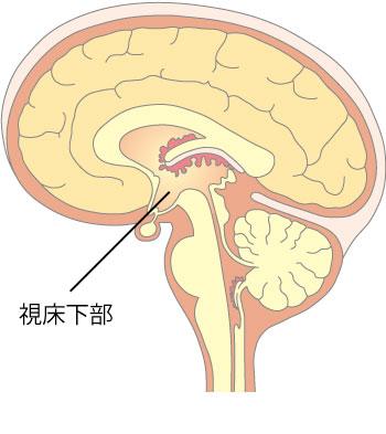 脳の図_視床下部