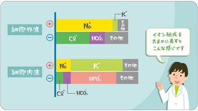 細胞外液と細胞内液のイオン組成解説イラスト