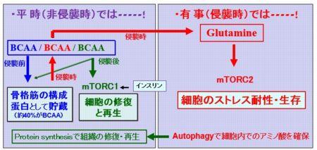 """図1 骨格筋での""""BCAA・Glutamine""""代謝を基軸とする臓器間ネットワークを応用した周術期管理"""