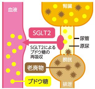 SGLT2の働き