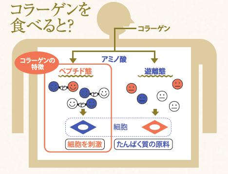 コラーゲンペプチド説明図
