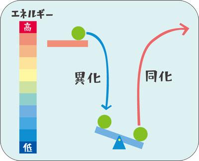 同化のために必要なエネルギーは、他のどこかで起こる異化によってまかなわれることの説明図