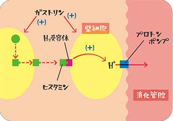 胃酸分泌抑制説明図